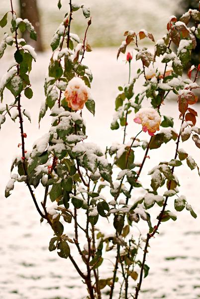 snowy-roses
